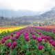 Asia's largest Tulip Garden thrown open for public